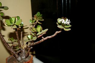 Crassula flowering 2.jpg