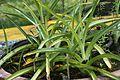 Crinum asiatica 8338.jpg