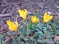 Crocus chrysanthus.jpg