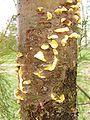 Cronartium ribicola bialowieza 1 beentree.jpg