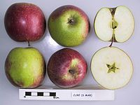 Cross section of Cure, National Fruit Collection (acc. 1948-300).jpg