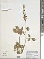 Crotalaria naragutensis-NMNH-13303837.jpg
