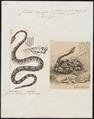 Crotalus durissus - 1700-1880 - Print - Iconographia Zoologica - Special Collections University of Amsterdam - UBA01 IZ11700023.tif