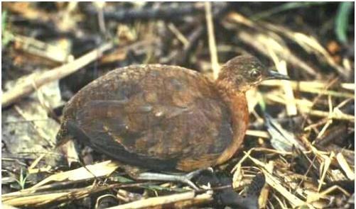 Crypturellus duidae