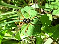Ctenophora festiva (Tipulidae) - (female imago), Arnhem, the Netherlands.jpg
