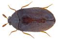 Ctesias serra (Fabricius, 1792) (30509519024).png