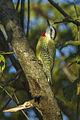 Cuban Woodpecker - Cuba S4E0314 (16222867988).jpg