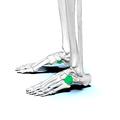 Cuboid bone 02.png