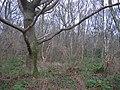Cuddie Wood. - geograph.org.uk - 101469.jpg