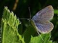 Cupido argiades ♂ - Short-tailed blue (male) - Голубянка короткохвостая (самец) (42341296812).jpg