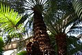 Cycas circinalis 18zz.jpg
