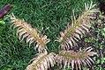 Cycas circinalis 36zz.jpg