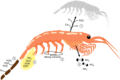 Cycling of nutrients by an individual krill.webp
