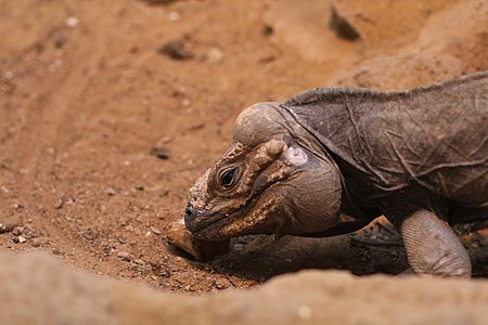 Cyclura cornuta in ZSL London Zoo (03).JPG