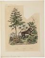 Cynocephalus hamadryas - 1833-1839 - Print - Iconographia Zoologica - Special Collections University of Amsterdam - UBA01 IZ20100023.tif