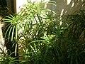CyperusSp2.jpg