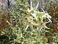 Cyphantera albicans notabilis-1.jpg