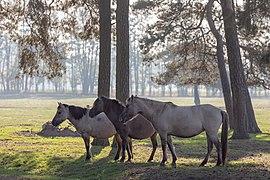 Dülmen, Merfeld, Dülmener Pferde im Merfelder Bruch -- 2018 -- 1699.jpg