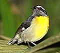 DRbirds Bananaquit.JPG