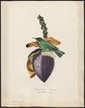 Dacnis spiza - 1700-1880 - Print - Iconographia Zoologica - Special Collections University of Amsterdam - UBA01 IZ19000385.tif