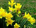 Daffodils bloom.jpg