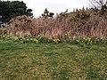 Daffodils in Chatsworth Park - geograph.org.uk - 1774792.jpg