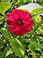 Dahlia Flowers (1).jpg