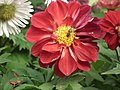 Dahlia from lalbagh 1970.JPG