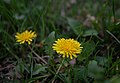 Dandelions in grass close up photo (42392901081).jpg