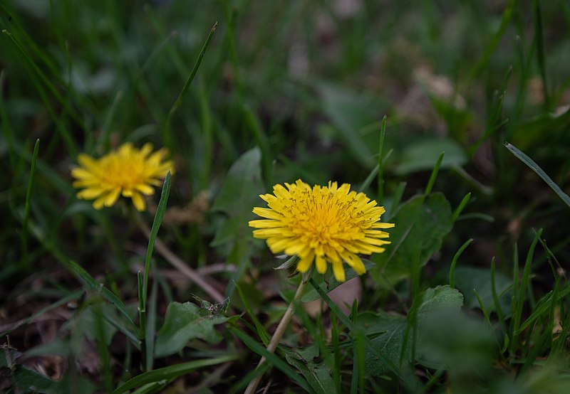 File:Dandelions in grass close up photo (42392901081).jpg