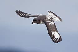 Daption capense in flight 2 - SE Tasmania.jpg
