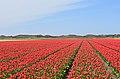 De Cocksdorp tulip fields 1.jpg