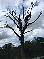 Dead Tree Shenandoah National Park.jpg