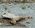 Dead horse in desert close.jpg