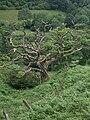 Dead tree in Llanddewi Brefi, Ceredigion, Wales.jpg