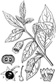 Deadly Nightshade-Medicinal Herbs Poisonous Plants-136-80.png
