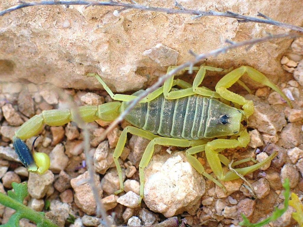 Deathstalker ST 07.JPG, scorpion in hindi