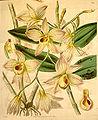Dendrobium moschatum - Curtis' 67 (N.S. 14) pl. 3837 (1841).jpg