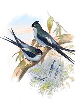 Par. Illustration av John Gould.