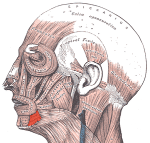 Depressor anguli oris muscle - Muscles of the head, face, and neck (labeled as triangularis near chin).