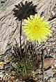 Desert dandelion Malacothrix glabrata by root close.jpg