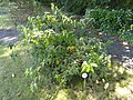 Deutzia schneideriana - Botanischer Garten, Frankfurt am Main - DSC02512.JPG