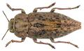 Dicerca berolinensis (Herbst, 1779).png