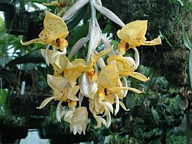 Dick Hartley DSCN1702 - Stanhopea ospinae.jpg