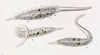 Dileptus - Amphileptus margaritifer (=Dileptus margaritifer) by C. G. Ehrenberg, 1838.