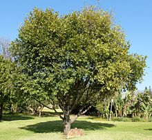Diospyros mespiliformis, habitus, Jan Celliers Park.jpg
