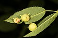Diplolepis nervosa (36236708292).jpg