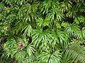 Dipteris conjugata ybrgub01.jpg