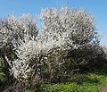 Display of blackthorn by the Medina River 1.jpg