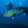 Divers admiring a very large potato bass at Ponta do Ouro, Mozambique - square version (36684179721).jpg